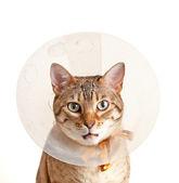 Bengal kitten with neck collar — Stock Photo