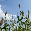 Stock Photo: Sorghum plants grown for ethanol and fuel