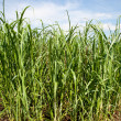 Sugar cane plants being grown on farm biofuel — Stock Photo #9207641