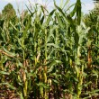 Stock Photo: Corn or maize grown for ethanol production