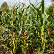 Corn or maize grown for ethanol production — Stock Photo