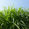 Miscanthus being grown on farm biofuel — Stock Photo #9207660