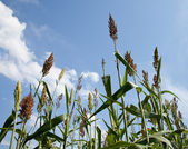 Sorghum plants grown for ethanol and fuel — Stock Photo
