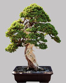 Japanese bonsai tree in pot isolated — Stock Photo