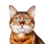 Bengal kitten looking shocked and staring — Stock Photo