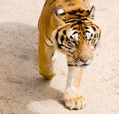 Wildlife tiger — Stock Photo