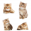 Set of British Shorthair kittens — Stock Photo