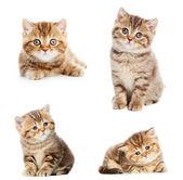 Set of British Shorthair kittens — Stock Photo