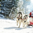Winter Sled dog racing — Stock Photo
