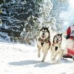 Winter Sled dog racing — Stock Photo #8810624