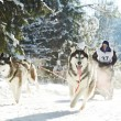Stock Photo: Winter Sled dog racing musher and Siberihusky