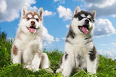 Two Siberian husky puppy dog on grass — Stock Photo
