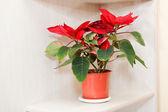 Foto krásné vánoční hvězda plánu na dřevěný stůl — Stock fotografie