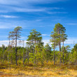 Evergreen forest in Karelian marshes with blue sky in summer season — Stok fotoğraf