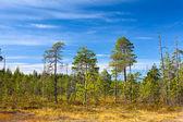 вечнозеленые леса в карелии болот с голубым небом в летний сезон — Стоковое фото