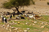 Herd of Goats — Stock Photo