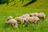 Grazing Sheeps — Stock Photo
