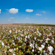 Cotton Bolls - Stock Photo