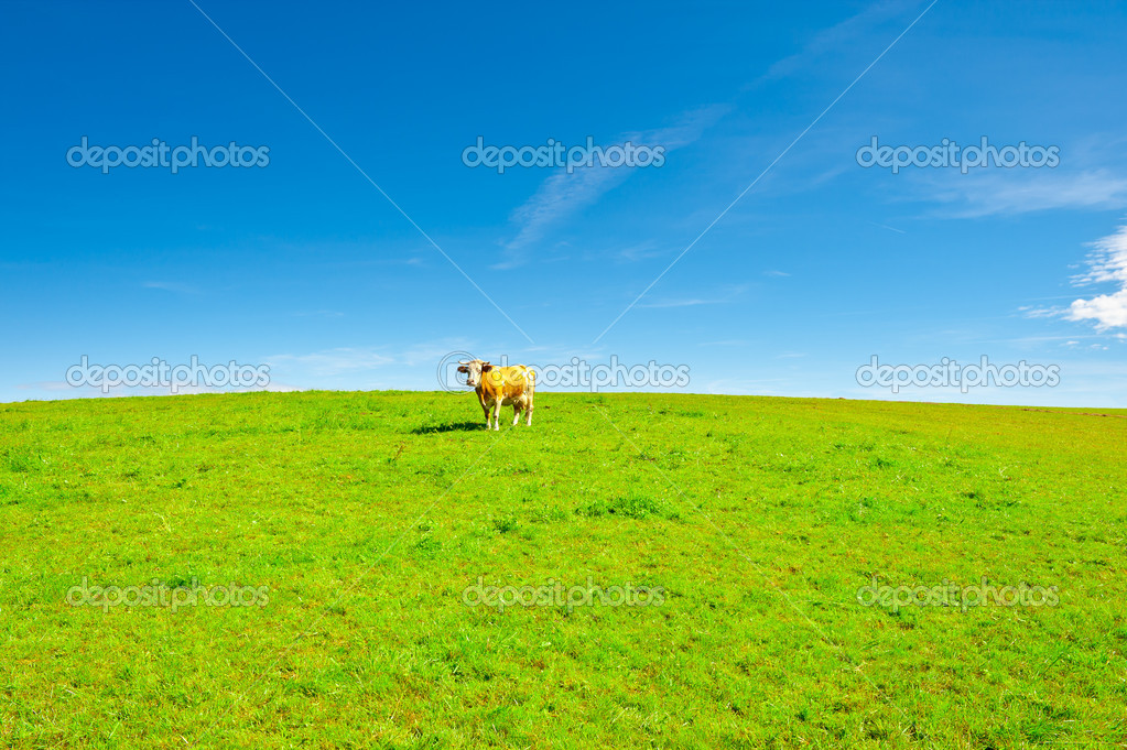 Lonely Cow Grazing on Pasture in Southern Bavaria, Germany — Stock Photo #9748340