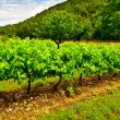 Vineyard — Stock Photo #9854862