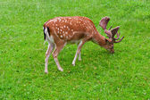 Grazing Deer — Stock Photo