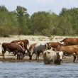 Cows at a riverbank — Stock Photo