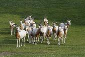 Herd of antelopes — Stock Photo