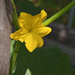 Cucumber flower — Stock Photo