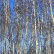 Stock Photo: Birch background