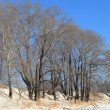 Stock Photo: Bare winter aspens