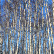 Trunks of birches — Stock Photo