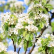 Cherry flowers — Stock Photo #8686959