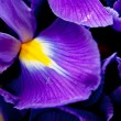 Stock Photo: Iris flowers