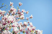 Magnolia trees over blue sky — Stock Photo