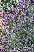 Lavender in the summer — Stock Photo
