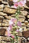 Mallows flowers — Stock Photo