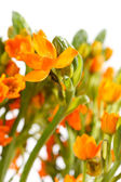 Orange freesia — Stock Photo