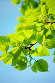 Green leaves over blue sky — Stock Photo