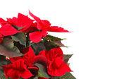 Beyaz bir arka plan üzerinde izole kırmızı Atatürk çiçeği — Stok fotoğraf