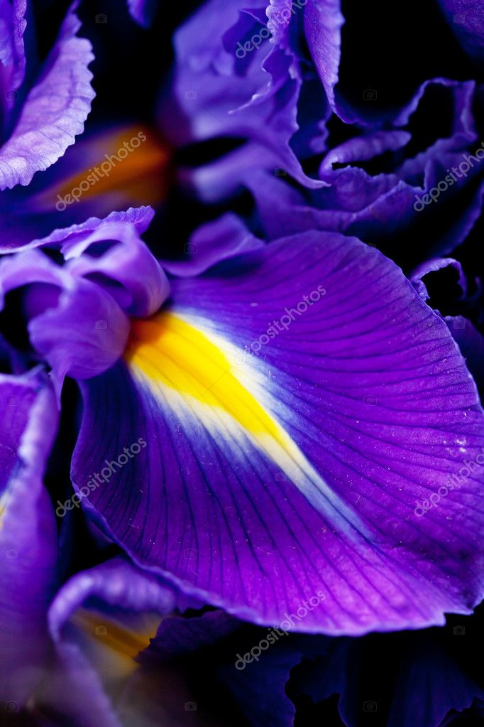 Iris flowers — Stock Photo #8687307