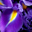 Iris flowers — Stock Photo #8691055