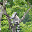 Cute Lemur — Stock Photo #8696903