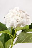 White hydrangea — Stock Photo