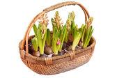 En ung hyacinter — Stockfoto