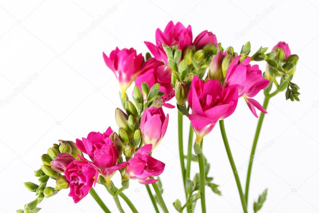 фрезия  розовая