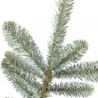 Fir tree branch on a white background. — Stock Photo
