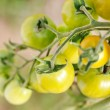 Stock Photo: Garden tomatoes