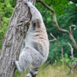 Cute Lemur — Stockfoto