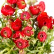 Red Ranunculus — Stock Photo #8726209