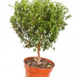 Stock Photo: Myrtle in pot